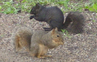 Black Squirrels in Colorado Springs